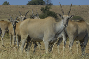 Eland Matlabas Game Hunters