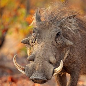 Warthog's rugged good looks