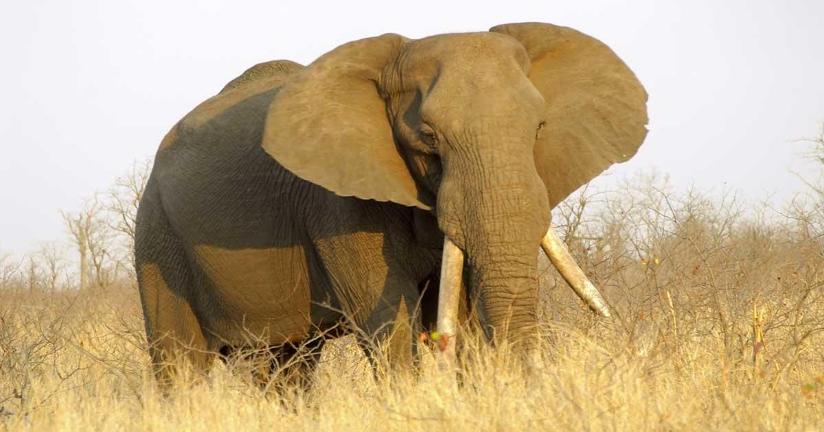 Who Hunted The Most Elephants