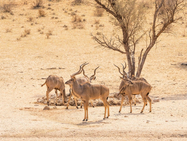 Kudu Bachelor Herd