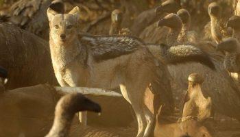 Black Backed Jackal – Canis mesomelas