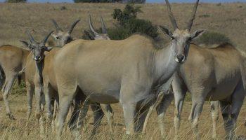 Eland – Taurotragus oryx