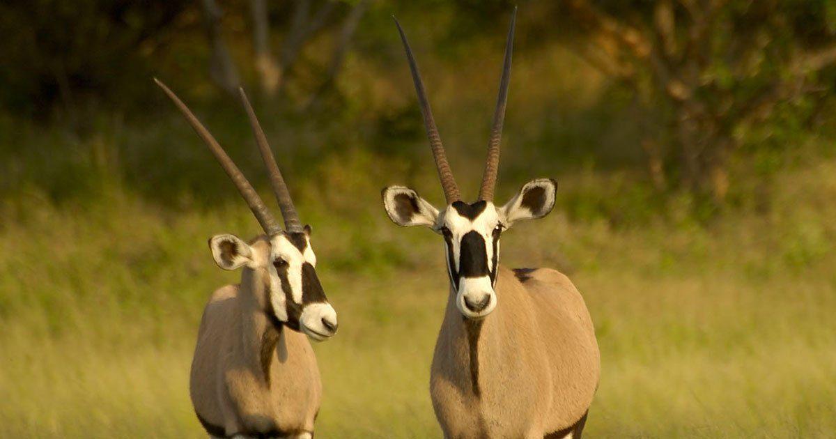 Gemsbuck – Oryx Gazella