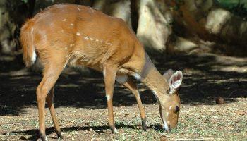 Bushbuck – Tragelaphus scriptus