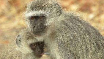 Vervet Monkey – Cercopithecus aethiops