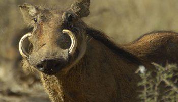Warthog – Phocochoerus aethiopicus
