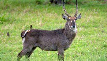 Waterbuck – Kobus ellipsiprymnus
