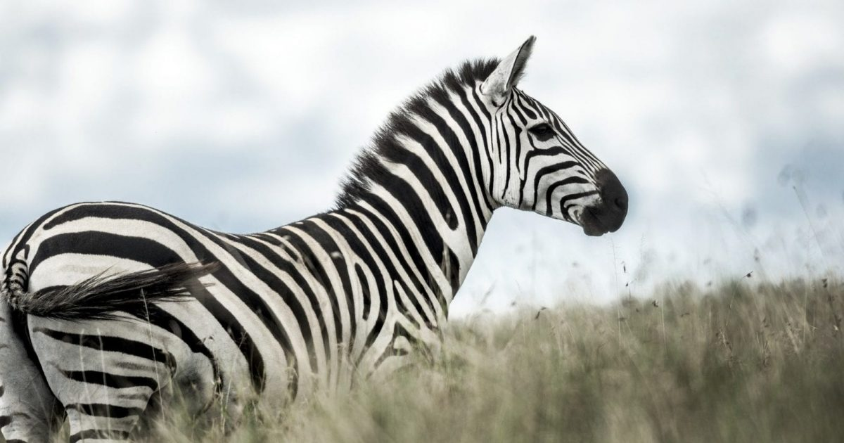 South Africa, a great conservation success story